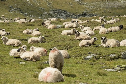 1525765330_bigstock-flock-of-sheep-flock-of-sheep-232608772