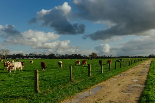 bigstock-cows-grazing-on-grassy-green-f-230891890